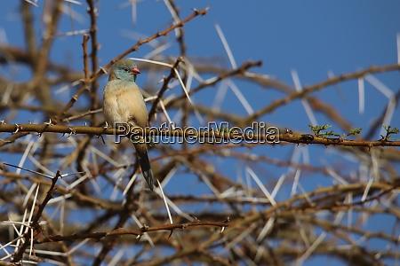 red-cheeked, cordon-bleu, in, kenya - 26935394