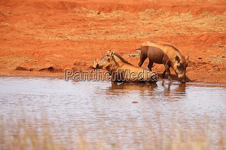 two warthogs takes a bath in