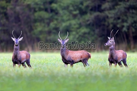 red deers in a clearing in