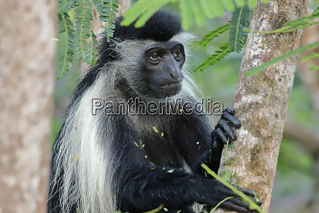 a thoughtful looking colobus monkey sits