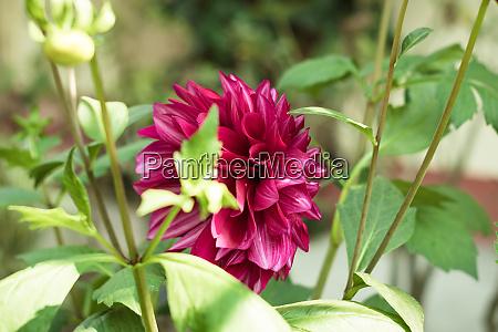 a red dahlia flower a member