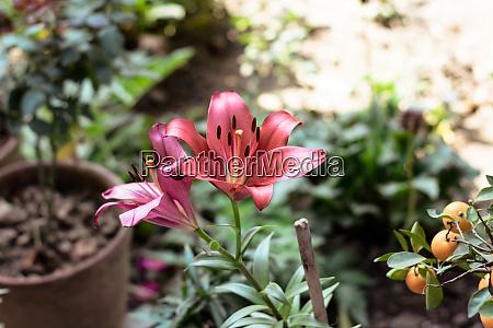 lilium bulbiferum common names orange lily