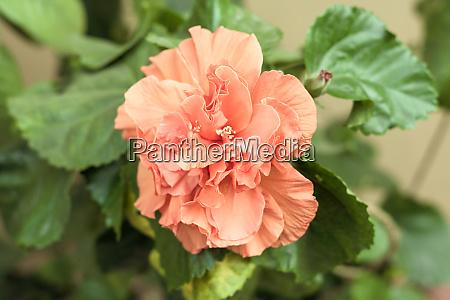 carnation flower or clove pink dianthus