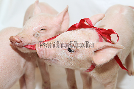 bow piglets