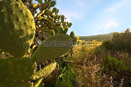 cactus de pera espinosa