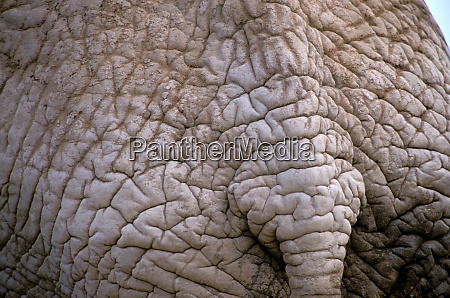 africa botswana okavango delta african elephant
