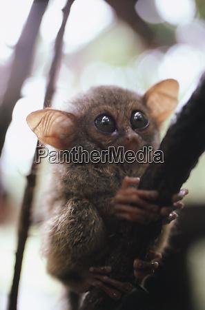 wild tarsier sitting on tree n