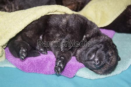 sleeping german shepherd puppies california