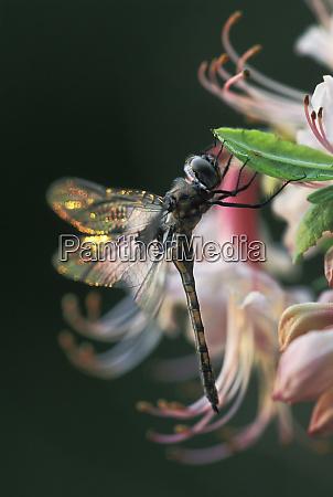usa georgia close up of dragonfly