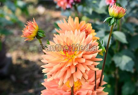 zinnia multi layer orange petal