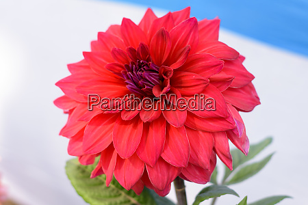 multi layer petals red aster aster