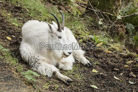 eatonville washington state usa mountain goat