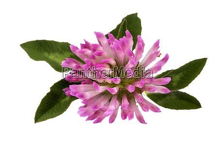 flower of red clover isolated on