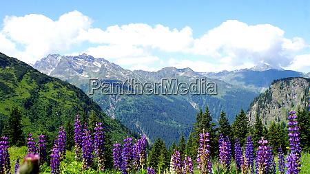 lupinos azules en las altas montanyas