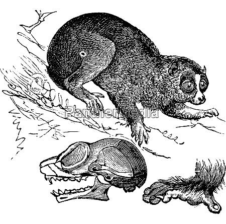 bengala loris lento o nycticebus bengalensis