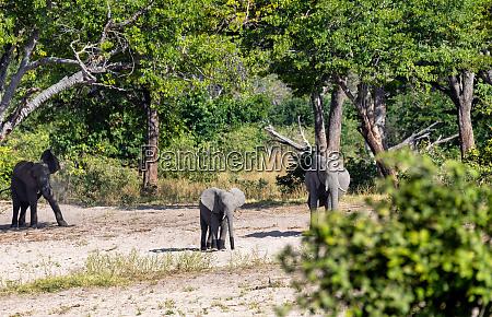 elefante africano namibia africa safari vida