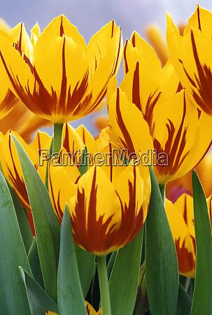 estados unidos indiana indianapolis vibrantes tulipanes