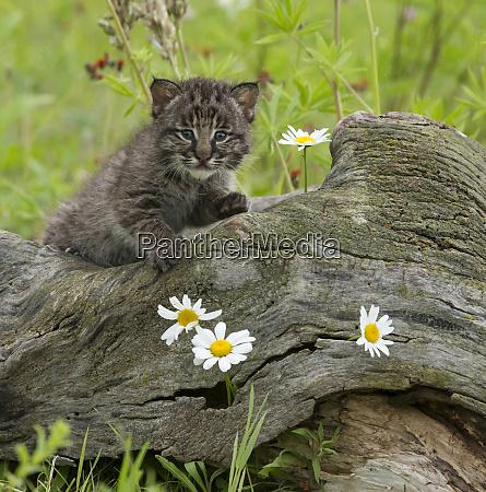 bebe bobcat captivity daisy feline jaynes