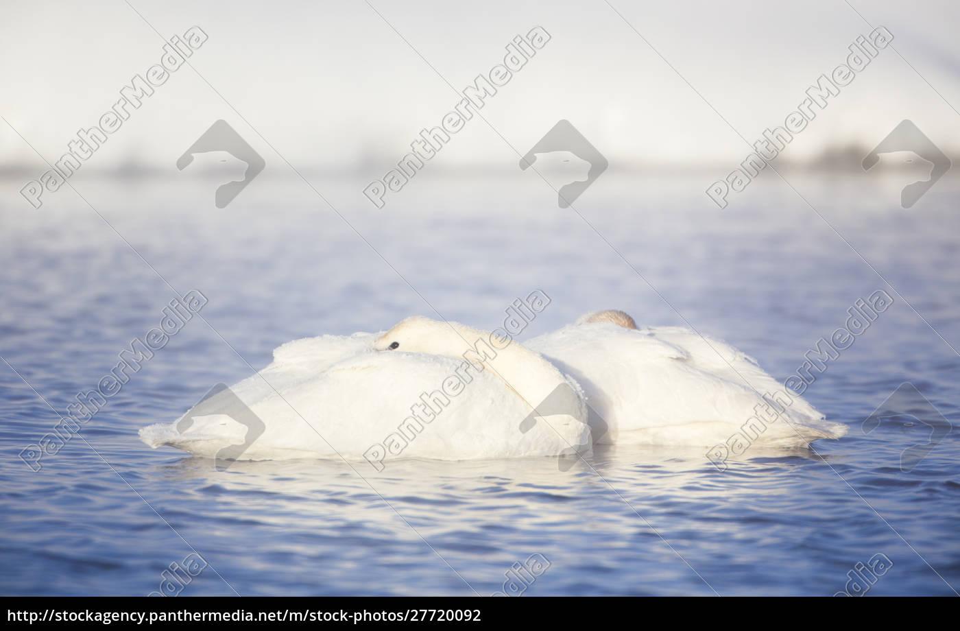 wyoming, condado, de, sublette, frosty, trumpeter, swan, se - 27720092