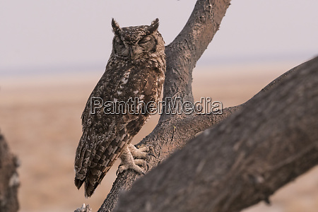 an african spotted eagle owl bubo