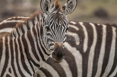 zebra mirando a la camara