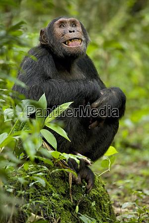 uganda parque nacional kibale proyecto ngogo