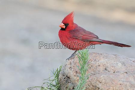 estados unidos arizona amado cardenal del