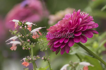 flor de zinnia y flor de