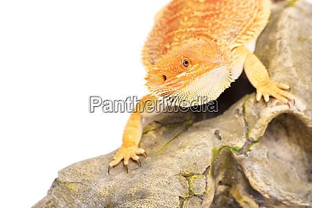 dragon barbudo en busca de rezar