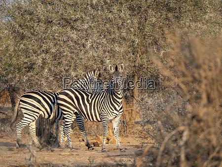 cebras de llanuras adultas equus quagga
