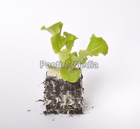 plantas, de, ensalada, de, batavia - 28975275