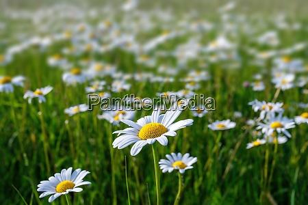 margarita campo de flores en primavera