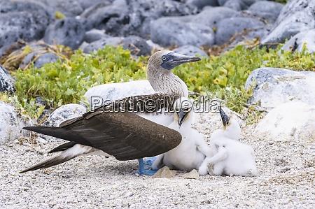 ecuador islas galapagos san cristobal booby