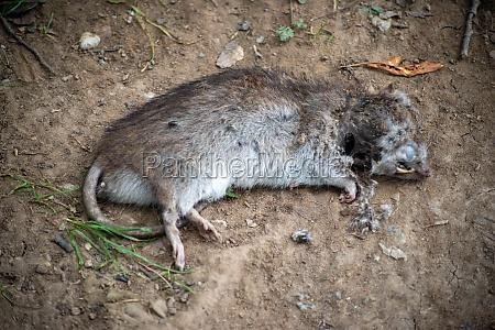 una rata muerta afuera