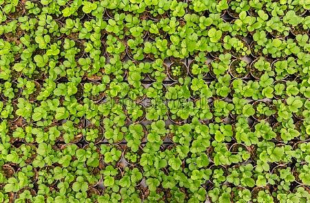 strawberry, seedlings, plants - 29682206