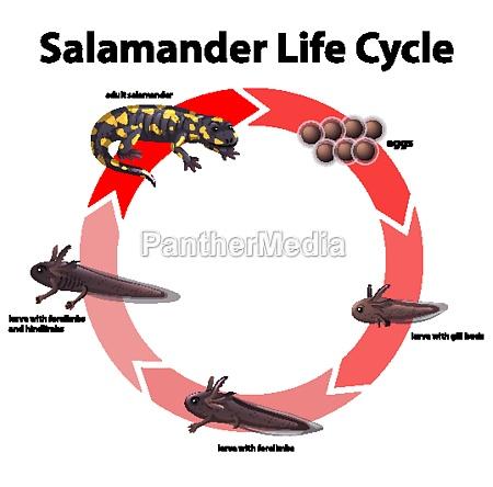 diagram, showing, life, cycle, of, salamander - 30238417